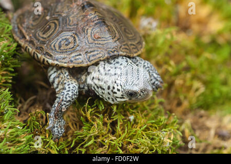 Northern diamondback terrapin, Malaclemys terrapin terrapin, native to the United States - Stock Photo