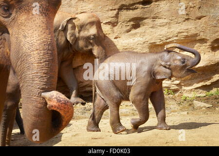 Sri Lanka - Elephant Orphanage, Pinnawela (village in Kegalla District of Sri Lanka), Asia - Stock Photo