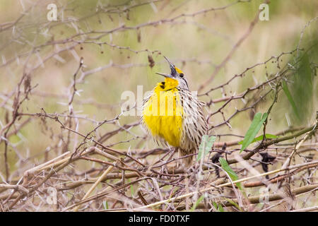 eastern meadowlark (Sturnella magna) adult male perched and singing, Cuba - Stock Photo