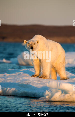 Canada, Nunavut Territory, Adult male Polar Bear (Ursus maritimus) standing at edge of drifting pack ice near mouth - Stock Photo