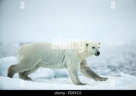 Canada, Nunavut Territory, Repulse Bay, Polar Bear (Ursus maritimus) leaping between melting sea icebergs near Harbour - Stock Photo