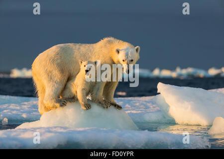 Canada, Nunavut Territory, Repulse Bay, Polar Bear Cub (Ursus maritimus) beneath mother while standing on sea ice - Stock Photo