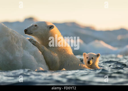 Canada, Nunavut Territory, Repulse Bay, Polar Bear and young cub (Ursus maritimus) cling to melting sea ice at sunset - Stock Photo