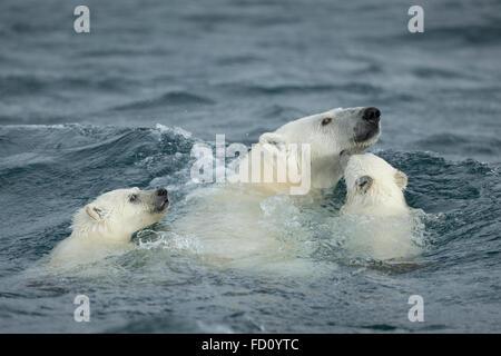 Canada, Nunavut Territory, Repulse Bay, Polar Bear and young cubs (Ursus maritimus) swimming near Harbour Islands - Stock Photo