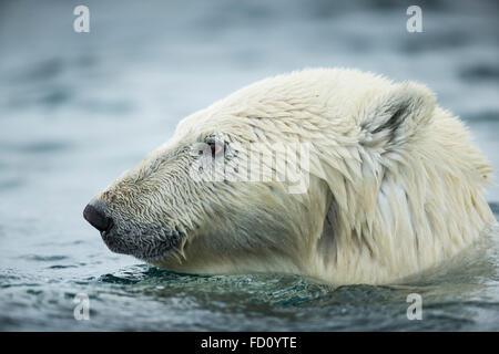 Canada, Nunavut Territory, Repulse Bay, Polar Bear (Ursus maritimus) swimming near Harbour Islands - Stock Photo