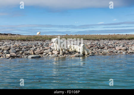 Canada, Nunavut Territory, Repulse Bay, Polar Bear approaches mother with young cubs (Ursus maritimus) along shoreline - Stock Photo