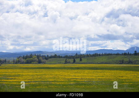Beautiful meadows with yellow wild flowers everywhere, and the Grand Tetons in the back drop. - Stock Photo