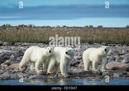 Canada, Nunavut Territory, Repulse Bay, Polar Bear (Ursus maritimus) walking with second- year cubs along rocky - Stock Photo
