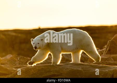 Canada, Nunavut Territory, Setting midnight sun lights Polar Bear (Ursus maritimus) walking along rocky shoreline - Stock Photo