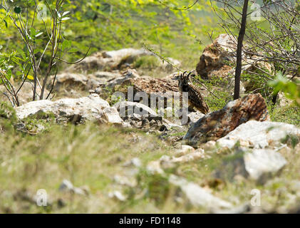 Eagle Owl in rocky green field - Stock Photo