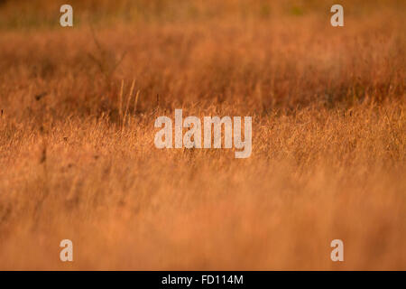 Evening light in Grass land image with selective focus - Stock Photo