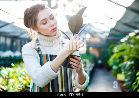 Pretty woman gardener in striped apron standing in greenhouse and taking care of ficus in flower pot - Stock Photo