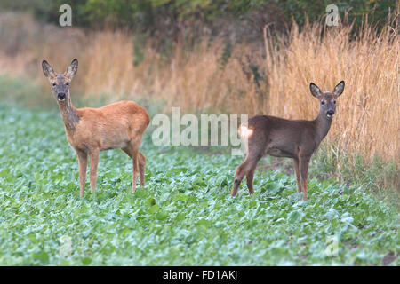 Reh (Capreolus capreolus), doe and fawn looking attentively on the edge of the field, Baltic island of Fehmarn - Stock Photo