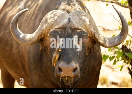 Cape buffalo (Syncerus caffer) with red-billed oxpecker (Buphagus erythrorhynchus) on muzzle, portrait, Kruger National - Stock Photo