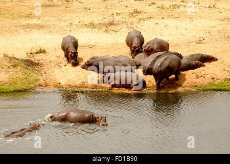 Common hippopotamuses (Hippopotamus amphibius) lying in sun by river, Kruger National Park, South Africa - Stock Photo