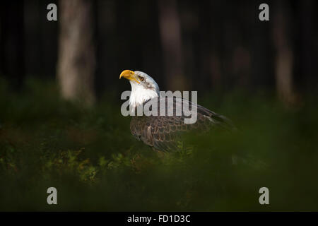 Bald Eagle / Weisskopfseeadler ( Haliaeetus leucocephalus ), sits in spotlight, in the undergrowth of dark woods, - Stock Photo
