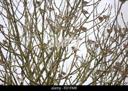 Brambling (Fringilla montifringilla) - Stock Photo