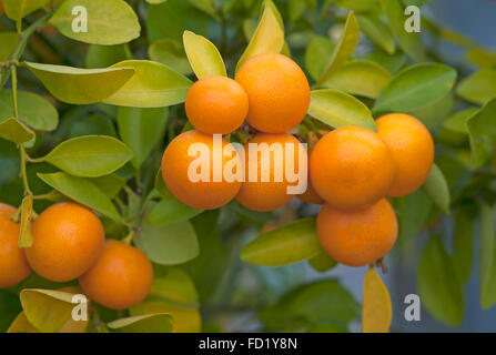 calamondin fruit on tree stock photo royalty free image 74435697 alamy. Black Bedroom Furniture Sets. Home Design Ideas