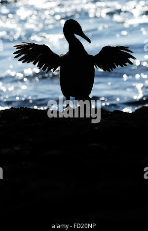 Flightless Cormorant (Phalacrocorax harrisi), also known as the Galapagos Cormorant, Fernandina island, Punta espinosa, - Stock Photo