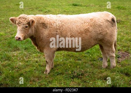 Europe, Germany, North Rhine-Westphalia, Lower Rhine Region, Charolais cattle on a pasture near Wesel. - Stock Photo
