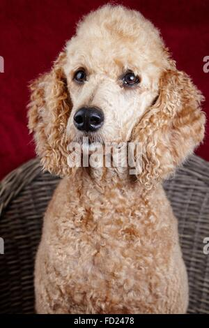 Dog portrait in the studio. Beautiful standard poodle sitting on a wooden chair with a red backdrop. - Stock Photo