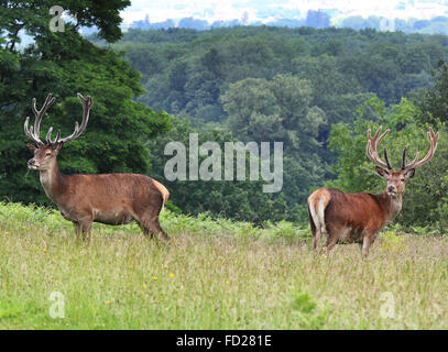 Pair of Watchful Red Stag Deer standing in a meadow (Cervus Elaphus) - Stock Photo