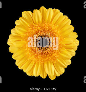 Blossom of a Gerbera - Stock Photo