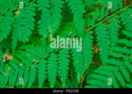 Fern leaves - Stock Photo