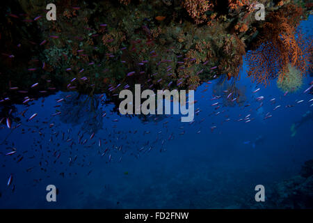 Schooling anthias fish under a coral ledge in Beqa Lagoon, Fiji. - Stock Photo