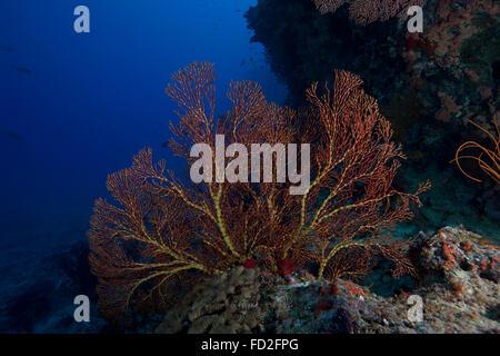 A large gorgonian sea fan on a Fijian reef. - Stock Photo