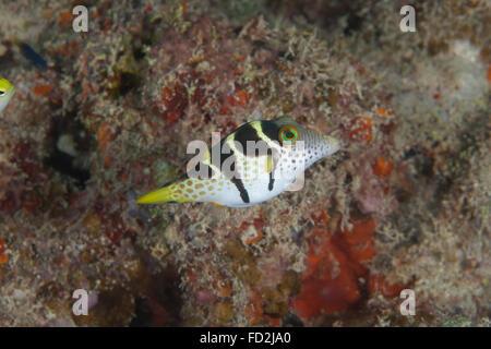 Mimic filefish (Paraluteres prionurus), Beqa Lagoon, Fiji.