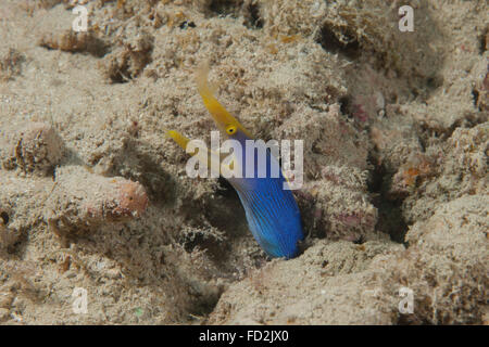 Blue ribbon eel with mouth wide open on a Fijian reef. - Stock Photo