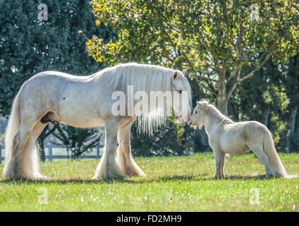 Gypsy Vanner Horse stallion and Miniature horse friend - Stock Photo