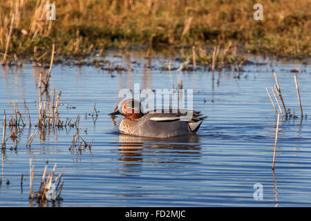 Eurasian teal / common teal (Anas crecca) male swimming in pond - Stock Photo