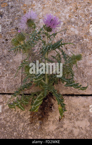 Native flower and weed growing in the finite crack between Incan stacked rocks in a wall - Stock Photo