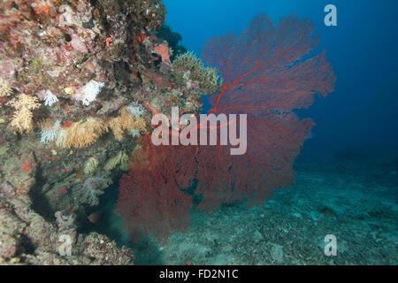 A large red gorgonian sea fan, Beqa Lagoon, Fiji. - Stock Photo