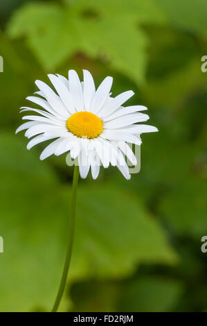 Oxeye Daisy (Leucanthemum vulgare, AKA Chrysanthemum leucanthemum); Willamette National Forest, Oregon. - Stock Photo