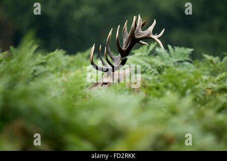 Red deer (Cervus elaphus) stag in bracken during the rutting season - Stock Photo