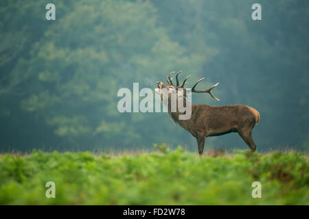 Red deer (Cervus elaphus) stag in the early morning mist during the rutting season - Stock Photo