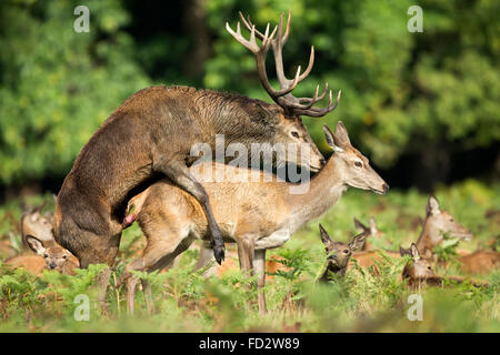 Red deer (Cervus elaphus) mating during the rutting season - Stock Photo