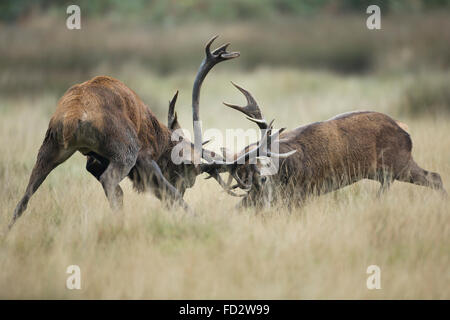 Red deer (Cervus elaphus) stags battling during the rutting season - Stock Photo