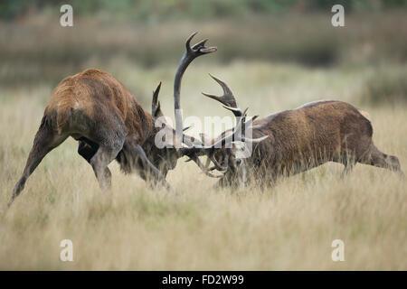 Red deer (Cervus elaphus) stags battling during the rutting season - Stock Photo
