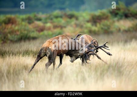 Red deer (Cervus elaphus) stags battlingduring the rutting season - Stock Photo