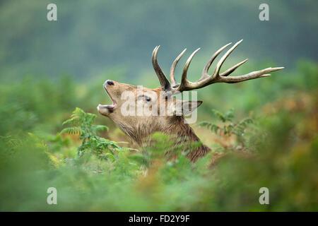 Red deer (Cervus elaphus) stag roaring in bracken during the rutting season - Stock Photo