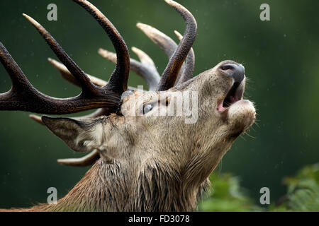 Red deer (Cervus elaphus) stag roaring during the rutting season - Stock Photo