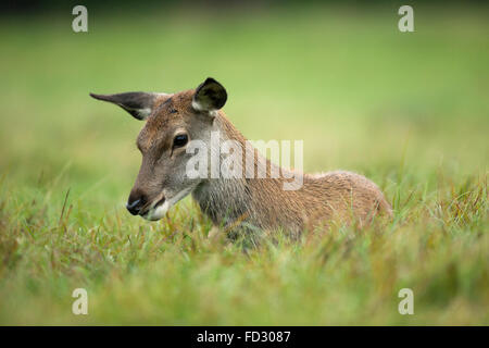 Young red deer (Cervus elaphus) laying down - Stock Photo
