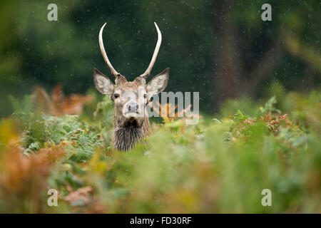 Young red deer (Cervus elaphus) stag amongst bracken in rain during the rutting season - Stock Photo