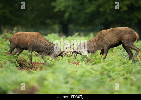 Red deer (Cervus elaphus) stags battle during rutting season Stock Photo