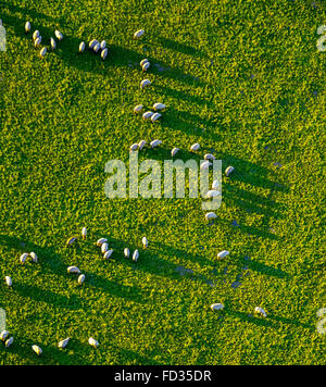 Aerial view, grazing herd of sheep in evening light with long shadows near Good Oelinghausen, Arnsberg, Sauerland, - Stock Photo