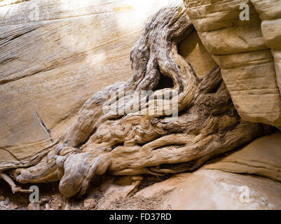 A water-worn tree root appears to exude from the sandstone along Lick Wash, Grand Staircase-Escalante National Monument, - Stock Photo